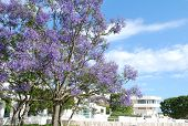 Jacaranda Tree Blossom