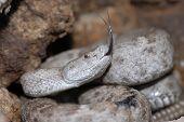 New Mexico Ridgenose Rattlesnake