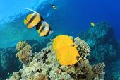 Pairs of Tropical Fish: Masked Butterflyfish and Red Sea Bannerfish on coral reef