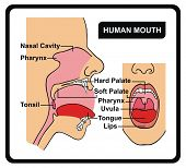 Vector - Human Mouth Anatomy