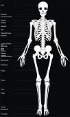 Human Skeleton (All Major Bones of Human Body) in anatomical position - Front View - Helpful Educati