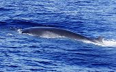 A diving Fin Whale ( Balaenoptera physalus) the second largest Animal on the planet after the Blue whale
