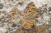 stock photo of copulation  - A pair of butterflies copulating with their bodies united - JPG