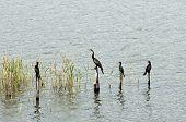 Cormorants and African Darter