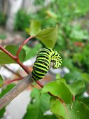 larva of the butterfly machaon on the stick