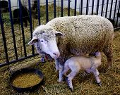 Mama Sheep And Lamb