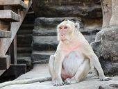 Monkey At Angkor