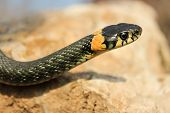 foto of snake-head  - Natrix natrix. Close up of grass snake crawling on a stone with a raised head