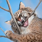 Bobcat (Lynx rufus) Chews On Branch