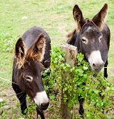 stock photo of headstrong  - View of two Donkeys grazing in the meadow - JPG