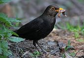Blackbird Eating Worm