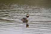 stock photo of great crested grebe  - Great Crested Grebe on the water closeup - JPG