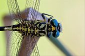 Wild Black Yellow Dragonfly Anax Imperator On