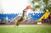 stock photo of border collie  - border collie dog catching the flying disc in jump - JPG