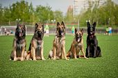 image of belgian shepherd  - Five cute Belgian Shepherd dogs sitting together - JPG