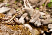 stock photo of garter  - An Eastern Garter Snake basking on a mossy rock - JPG