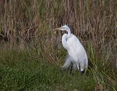 His Majesty The Great Egret