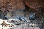 Bobcat sleeping in den