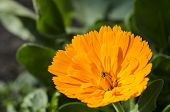 Orange Flower. Calendula