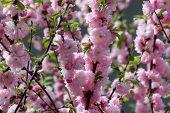 Flowering branches of decorative plant Luizeaniya lobed (Louiseania triloba)