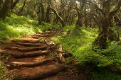 stock photo of canary  - Footpath in the rainforest in Garajonay national park - JPG