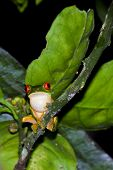 foto of red eye tree frog  - wild red eyed tree frog shot at night in the rain forest of Belize - JPG
