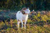 stock photo of ram  - Sheep ram in the early morning in nature alone standing