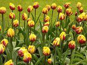 Tulip Field #2