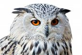 Isolated Eagle Owl With His Big And Beautiful Oranges Eyes