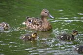 Duck And Three Ducklings In Water