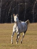 Arabian Horse In Forest