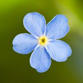 stock photo of forget me not  - Cute Flower Forget me not - JPG