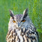 Eurasian Eagle-owl, Bubo Bubo, A Species Of Eagle Owl