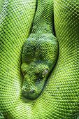 foto of green tree python  - View of dangerous green tree python eye - JPG