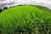 Green rice field, Vietnam