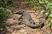 picture of giant lizard  - Komodo dragon  - JPG