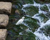 White Crane At Nakashima River In Nagasaki