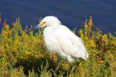 Snowy Egret blanco
