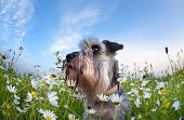 Cute Miniature Schnauzer Dog With Flowers