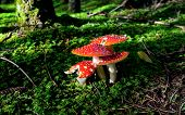 stock photo of agar  - red fly agaric mushrooms in forest on green moss