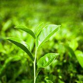 Tea Leaves At Plantation. India, Munnar