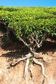 Tea Tree At Plantation. India, Munnar