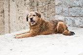 Himalayan Herding Dog Relaxing At Leh City Street