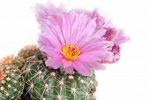 Pink Cactus Flower Close Up