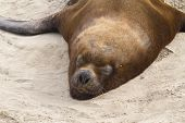 Male South American Sea Lion 1