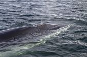 pic of mink  - Minke whale surfaced to breathe in Antarctic waters 1 - JPG