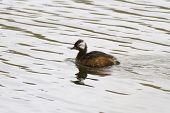White-tufted Grebe Floating On The Lake 1