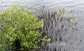 Black Mangrove Tree