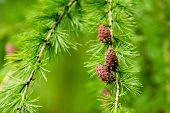 Larix Decidua, European Larch