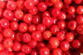 Red Berries Of Prunus Tomentosa